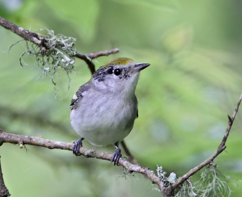 Chestnut-sided Warbler - 1st winter female_6443.jpg