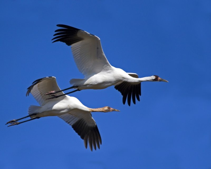 Whooping Cranes Flying
