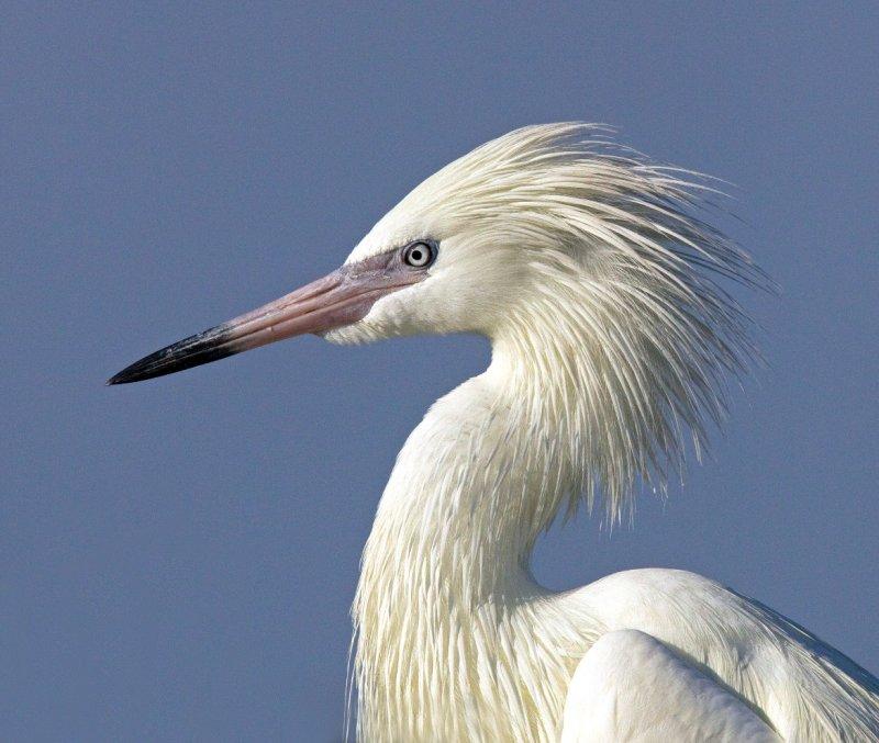 Reddish Egret (White Morph) Close-up