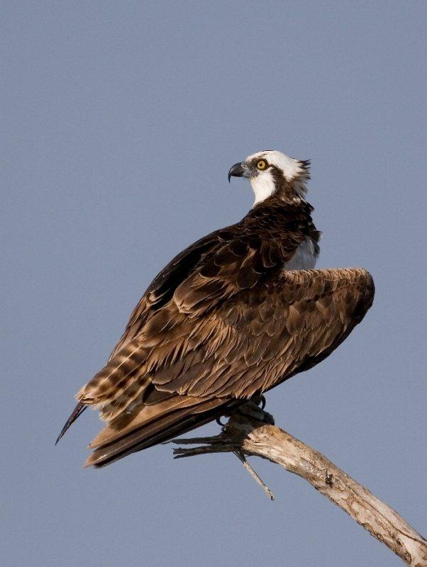 Osprey:  Rockport