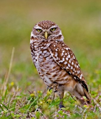 Burrowing Owl with Talon Up