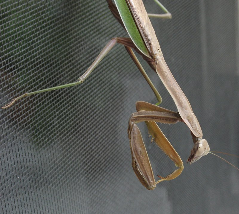 IMG_6092-A610 Mantis