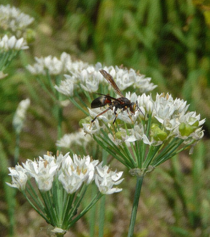 P1010620 Paper Wasp on Garlic Chives