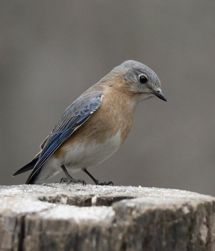 _MG_7345 Gray Day Female Bluebird