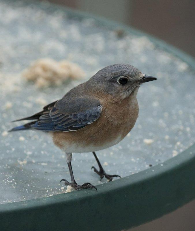 _MG_7351 70-200 Mrs. Bluebird