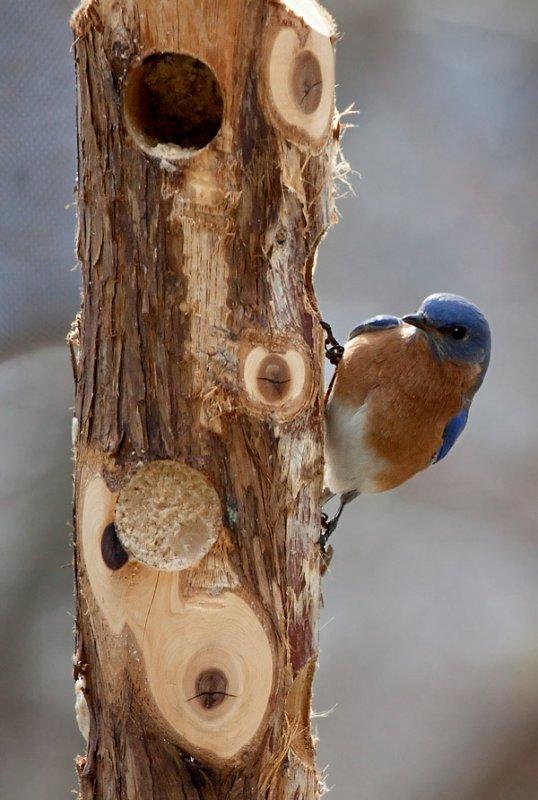 _MG_0046 Male Bluebird