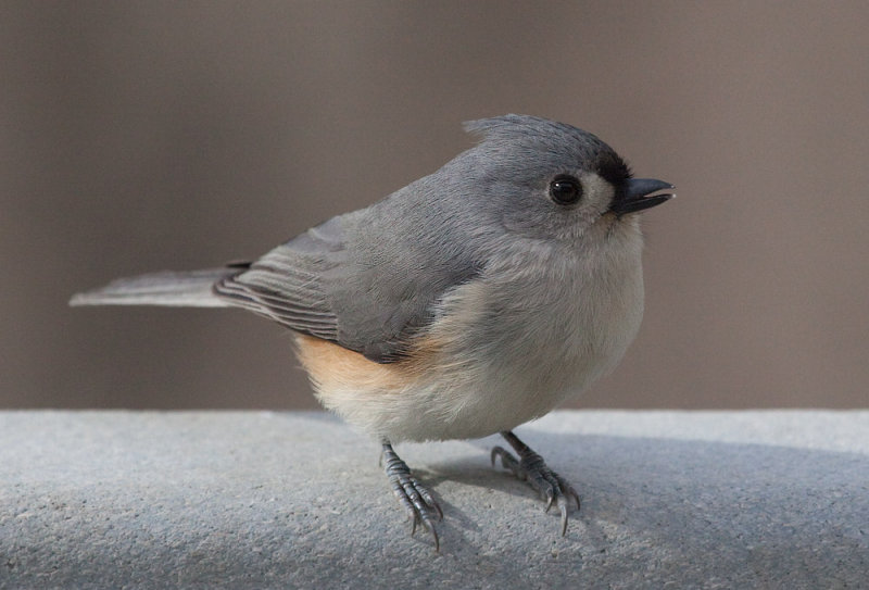 _MG_0053 Tufted Titmouse