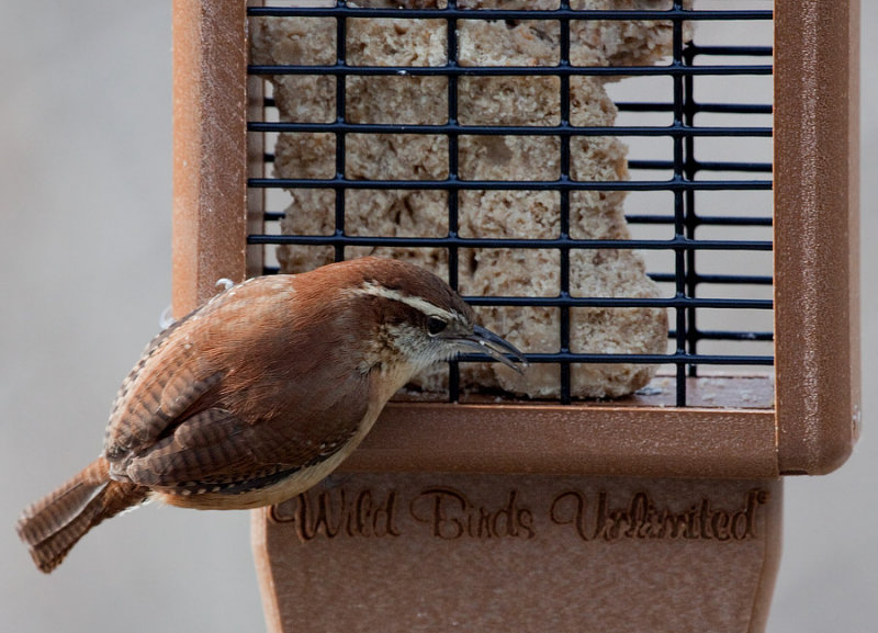 _MG_0066 Carolina Wren
