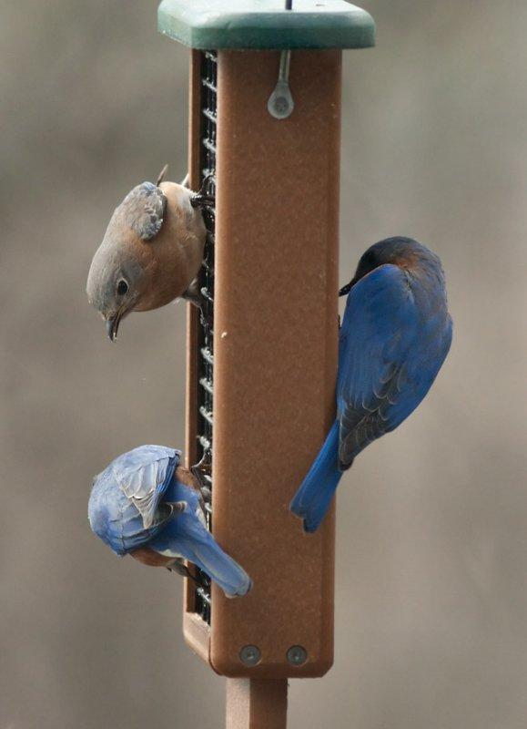 IMG_0439 Three Bluebirds