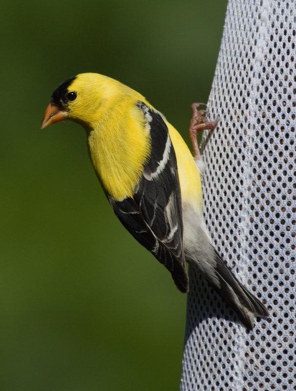 _MG_0775 American Goldfinch