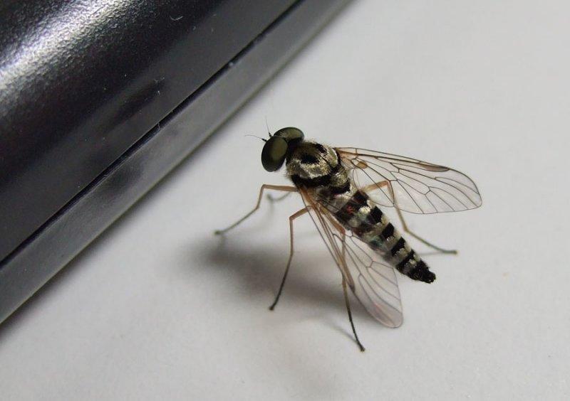 DSCF6519 Bee or Fly?