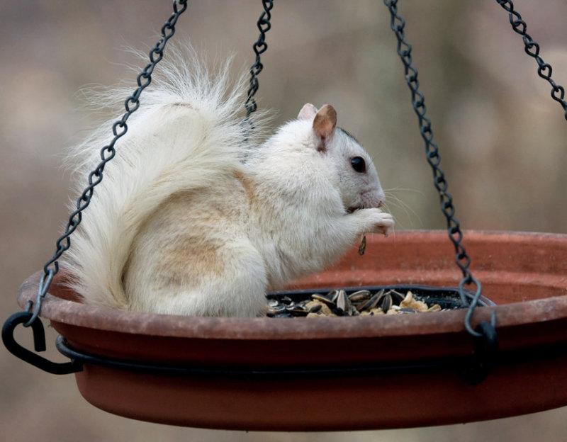 3330 White/Gray Squirrel Cross