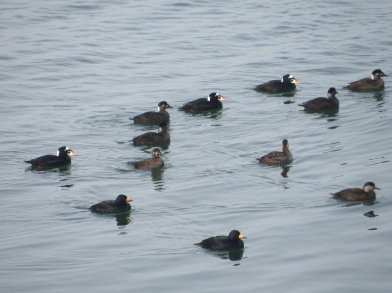 Duck Scoter Black CBBT 1-10fg.JPG
