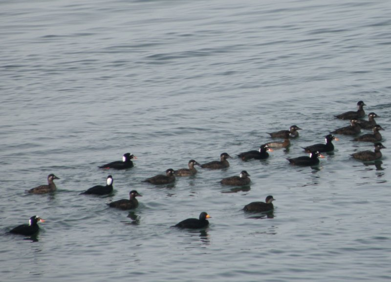 duck scoter black-surf cbbt 1-10d.JPG