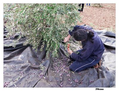 Harvesting the Olives.jpg
