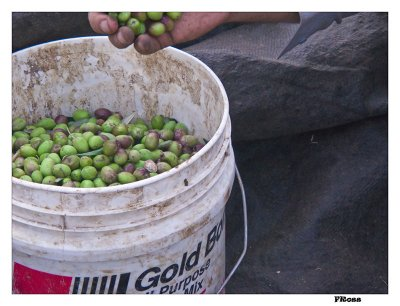 Olives Ready For Processing.jpg