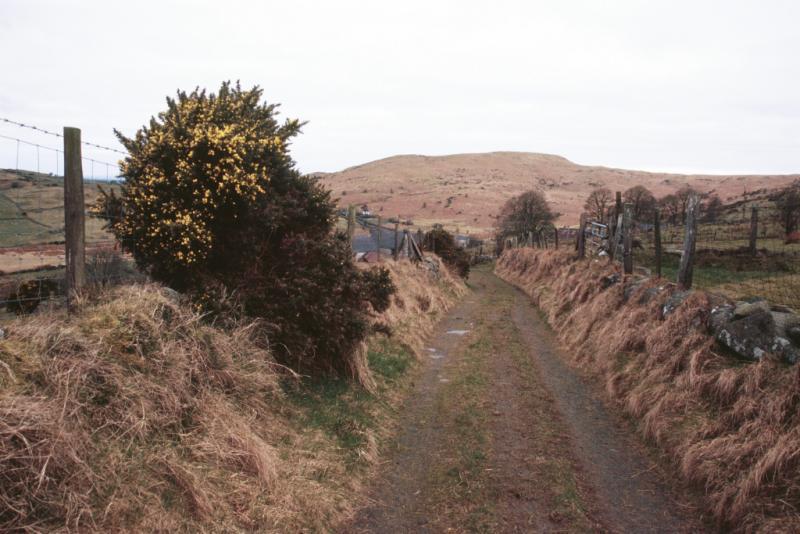 Gorse along the roadside