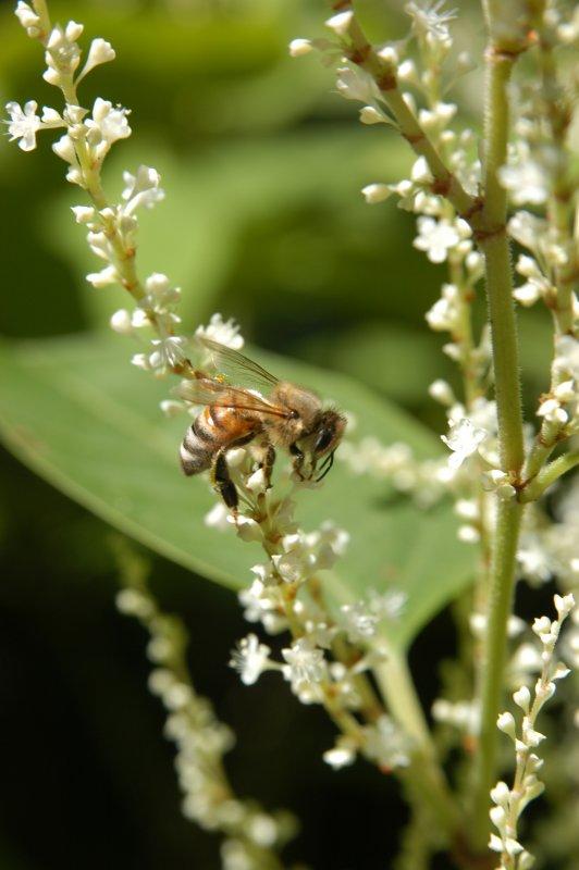 Honey bee on Japanese Knotweed