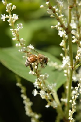 Honey bee on Japanese Knotweed