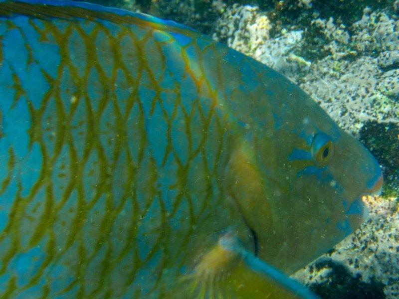 Blue Chin Parrotfish