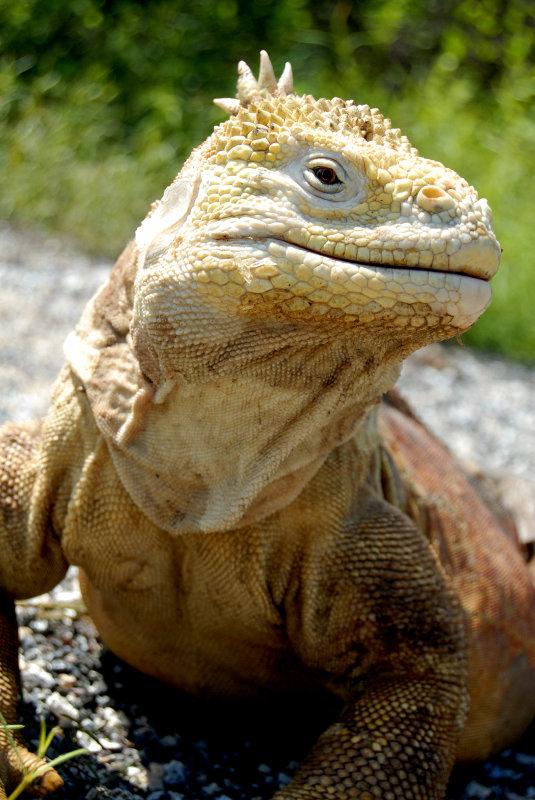 Land Iguana ,Urbina Bay 4. Isabela