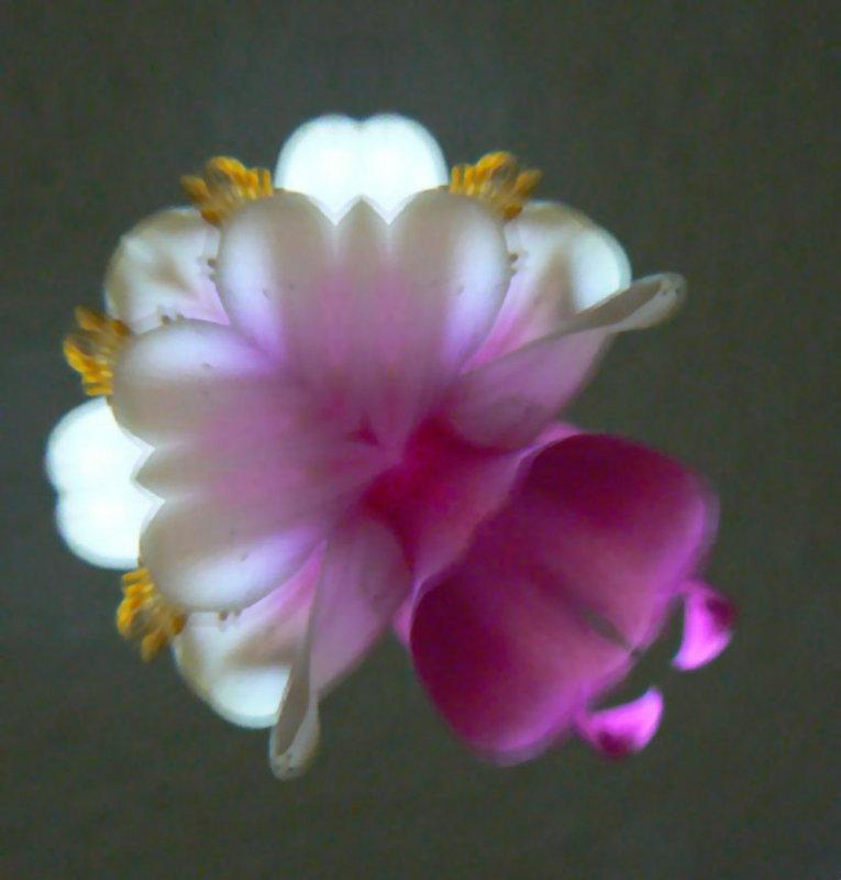 Flower Angel named Columbine