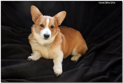 Four Month Old Welsh Pembroke Corgi