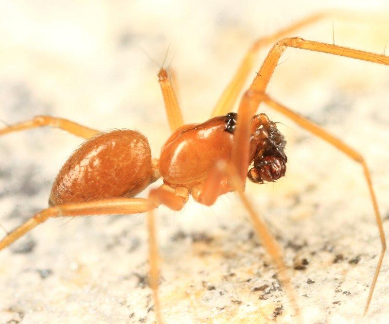 Tenuiphantes sabulosus (male)