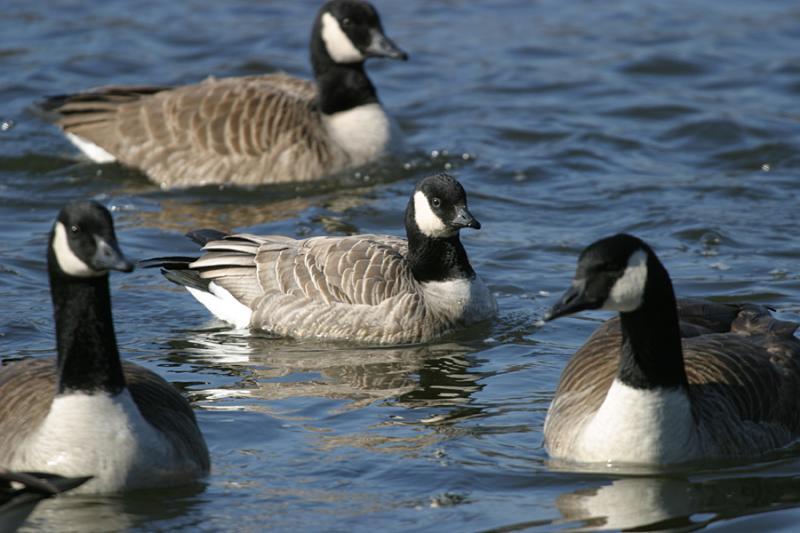 Cackling Goose - Branta hutchsinsi