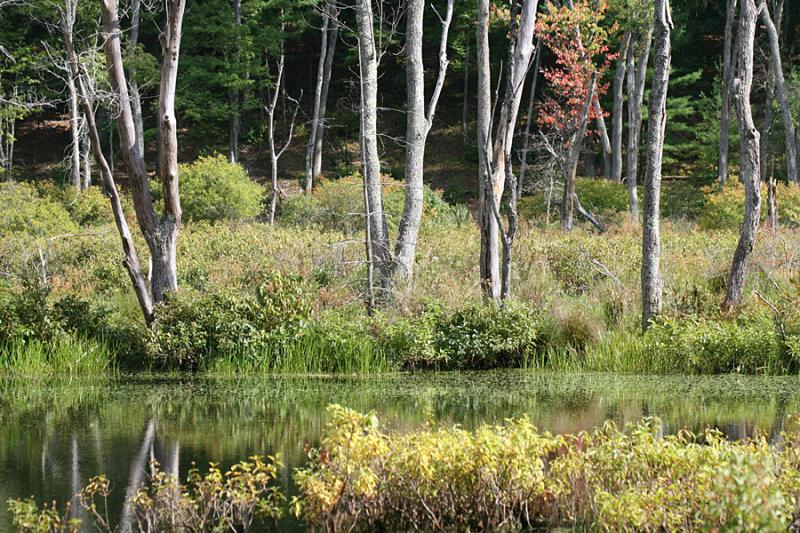 Beaverpond Trees 2