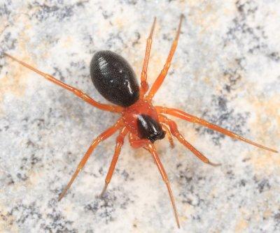 Tmeticus ornatus
