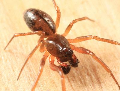 Grammonota pictilis (male)