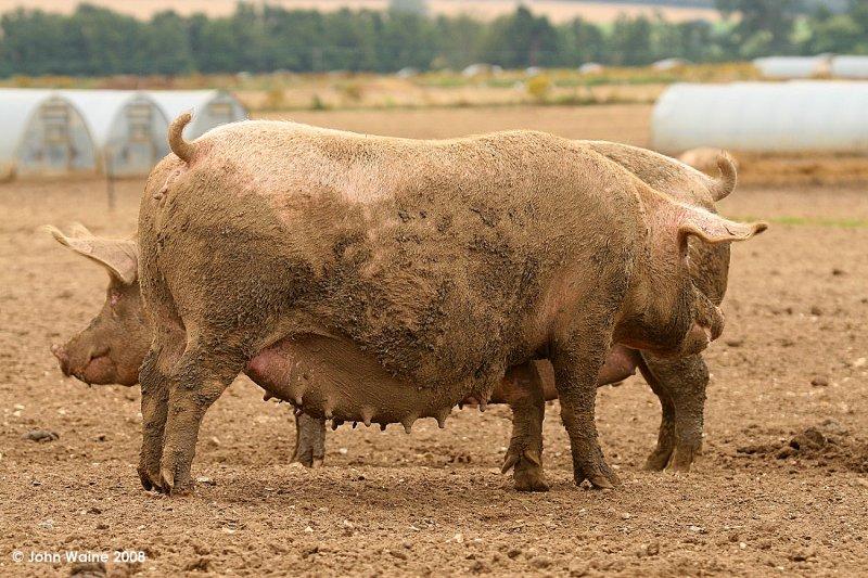 Bigger Piggies