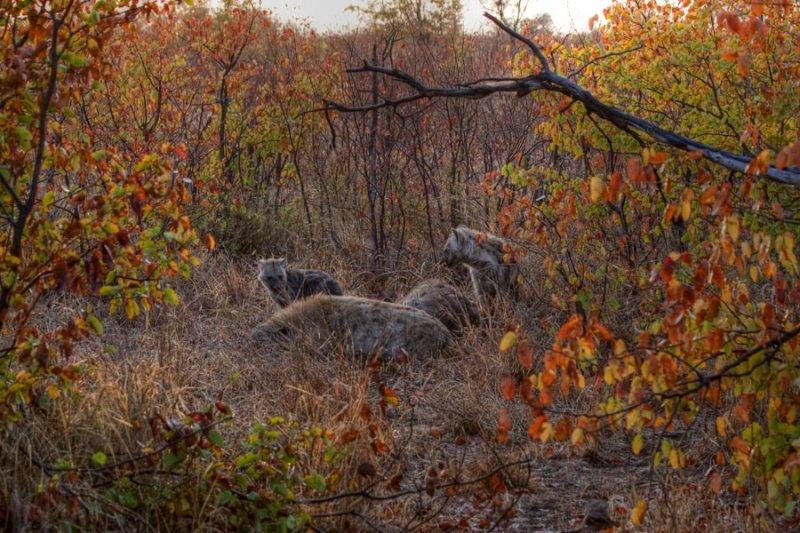 Hyena family - Kruger National Park