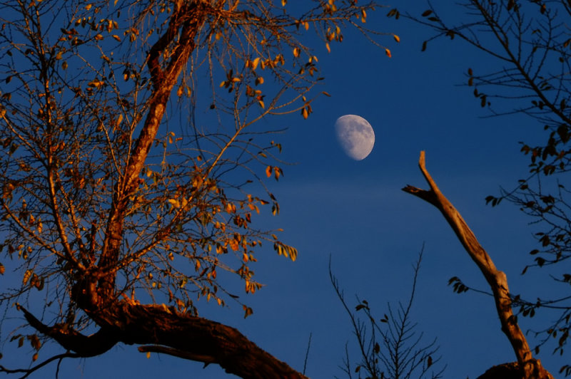 Waxing Gibbous Moon with Trees