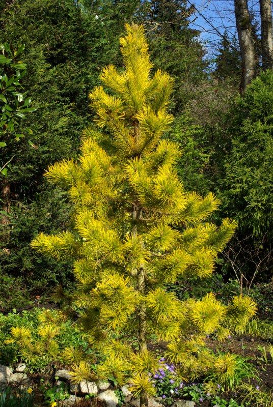 pinus contorta latifolia