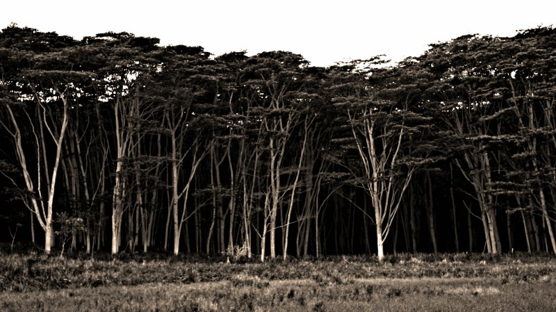 Ironwood Trees In A Lost Forest