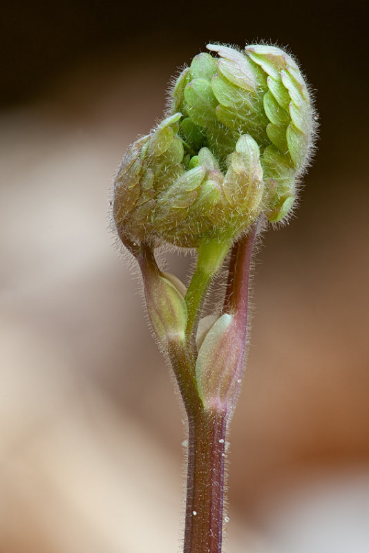 Wild Columbine Sprout