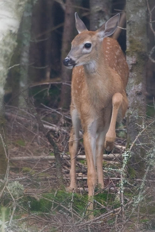 Jeune faon / Young White-tailed Deer