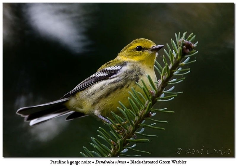 Paruline à gorge noire /<br>Black-throated Green Warbler