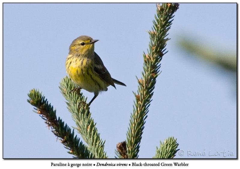 Paruline à gorge noire /<br>Black-throated Green Warbler