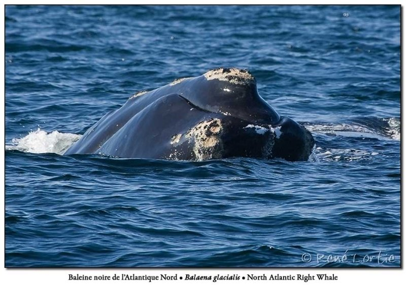 Baleine noire de lAtlantique Nord<br>North-Atlantic Right Whale