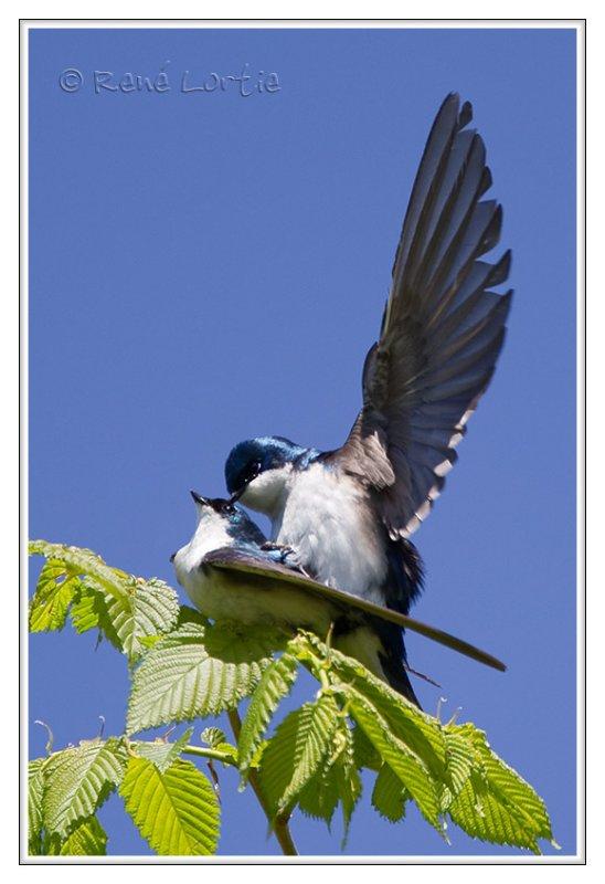 Hirondelles bicolores<br>Tree Swallows