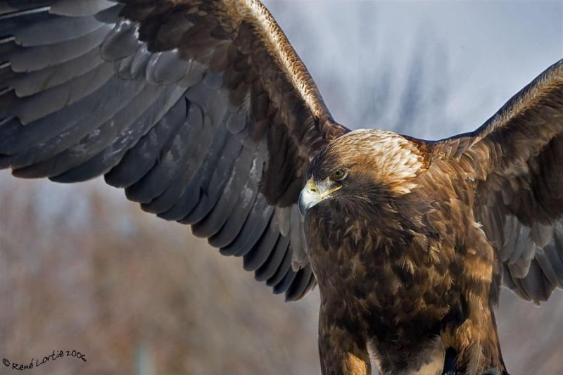 Aigle royal / Golden Eagle
