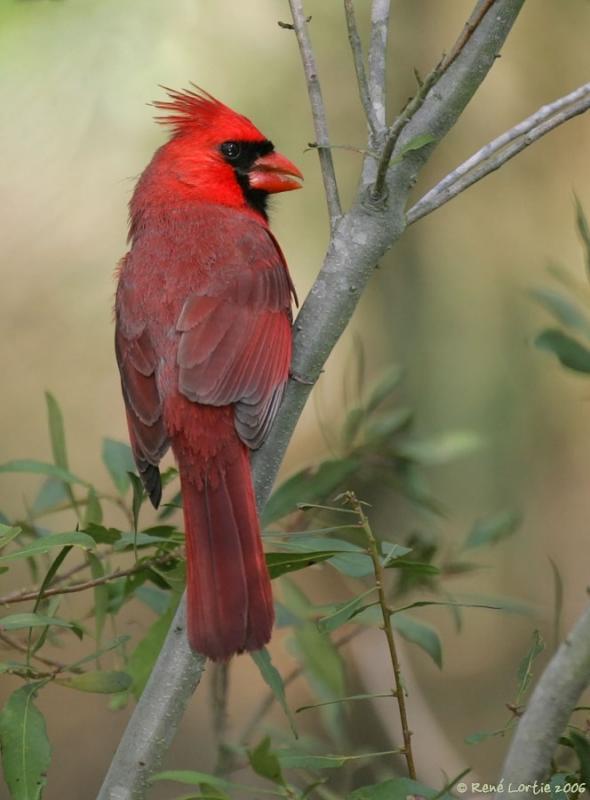10 mars 2006 • Cardinal