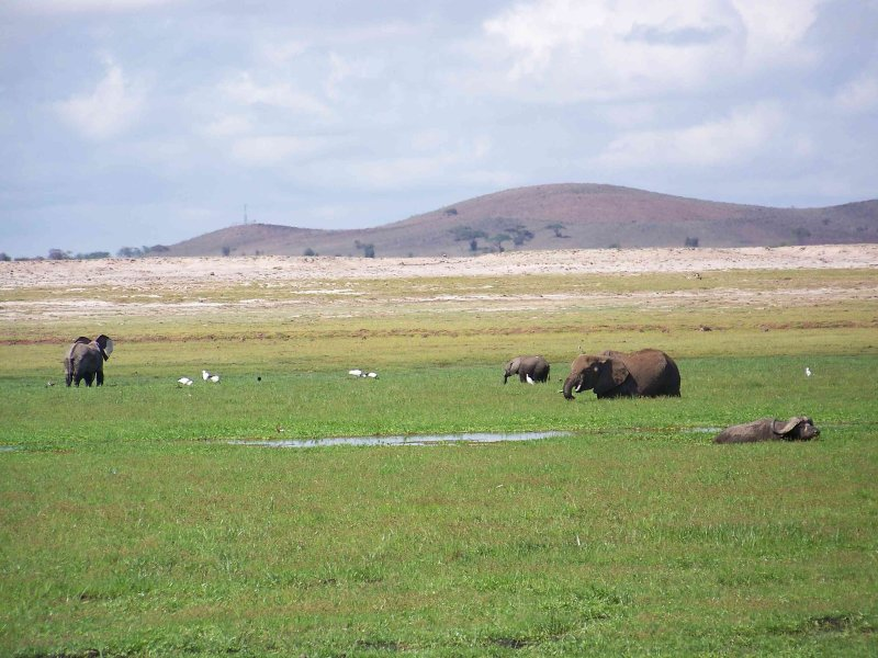 Elephants and cape buffalo use swamps to stay cool-2618