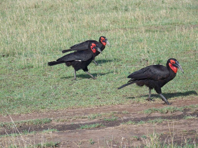 Southern ground hornbill-3518