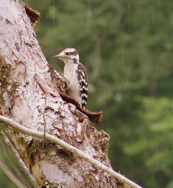 Downy Woodpecker in the Rain