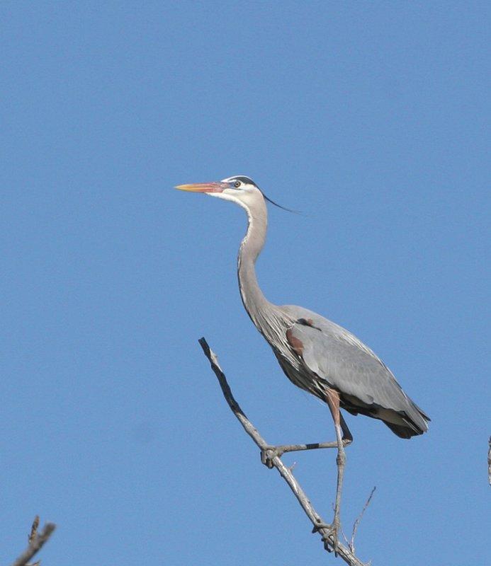 Great Blue Heron   23 Mar 07   IMG_3007.jpg