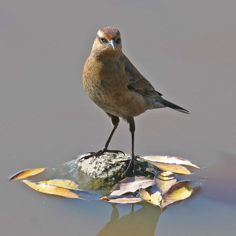 Rusty Blackbird II.jpg
